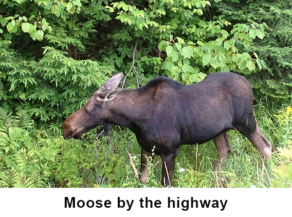 Moose by the algonquin highway image