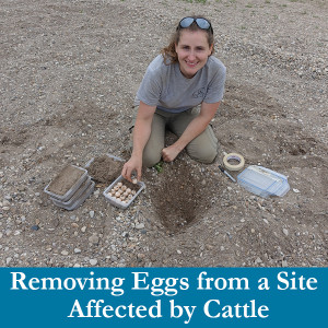 Removing eggs from a site affected by cattle woman kneeling in rocky sand pit digging up turtle eggs and placing them in plastic bins filled with sand dispenser amenities