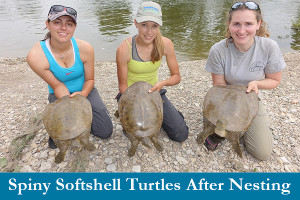 Threatened spiny softshell turtles after nesting