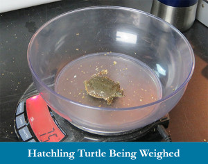 Hatchling turtle being weighed2  image