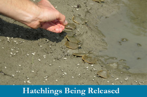 Hatchling Spiny Softshell Turtles