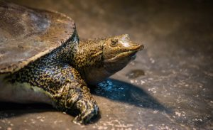 Spiny Softshell Turtles blog image