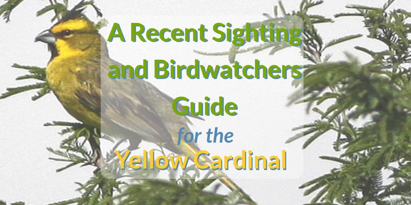 yellow cardinal sighting blog header a recent sighting and birdwatchers guide for the yellow cardinal